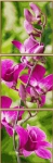 Schipper 609470739 Orchideenrispe Malen nach Zahlen